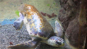Large sea turtle with a shell on the oceanarium stock video