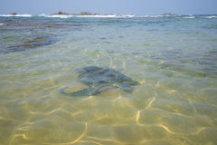 A large sea turtle swam to a sandbank on a coral reef Royalty Free Stock Photos