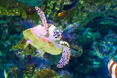 A large sea turtle swims in an aquarium. bottom view. Flight impression royalty free stock photography