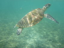 A large sea turtle swims Stock Photos