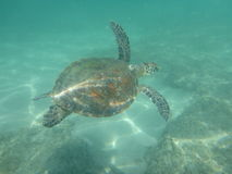 A large sea turtle swims Royalty Free Stock Images