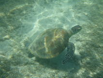 A large sea turtle swims Stock Photography