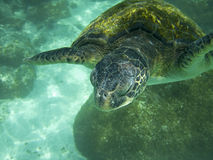 Large Sea Turtle Underwater Stock Photography
