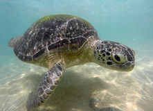 Large sea turtle underwater Royalty Free Stock Image