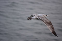 Large seagull. A photo of a Seagull stock photos