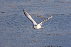 Large Seagull Flying to Shore Royalty Free Stock Photography