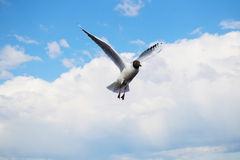 Large Seagull hovering in the background of cloudy sky Royalty Free Stock Photography