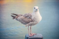 Large seagull sits resting on the pier, against the backdrop of the sea royalty free stock photography