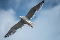 Large seagull with spread wings. In cloudy sky Royalty Free Stock Image