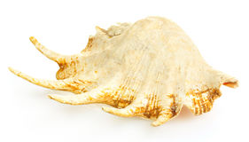 Large seashell Royalty Free Stock Images