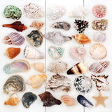 Large Seashell Collection. With a variety of shells on white wood background Stock Photography