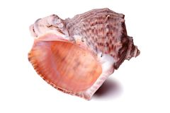 Large seashell conch isolated close up white background. Large seashell isolated close up stock image