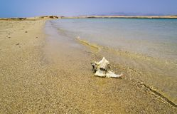 Large seashell on the seashore. Chicoreus ramosus stock image