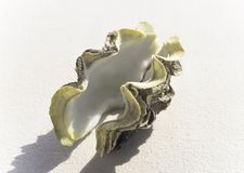 Large seashell on the seashore. Chicoreus ramosus stock images