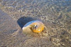 Large Seashell Stock Photography