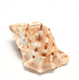 Large seashell Stock Photos
