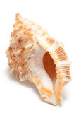 Large seashell Royalty Free Stock Photos