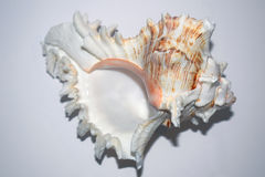 Large seashell on white background. Large colorful seashell on white background stock photography