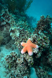 A large seastar (Choriaster granulatus) in Layang Layang Royalty Free Stock Photo