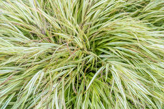 Large Sedge Bush 2 royalty free stock photography