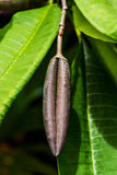 Large seed on tree branch Stock Photo