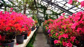 Large selection of colored flower in shop. Flowers stand on two rows. Pink and blue flowers in pots have fresh smell. Concept of modern flower growing and big Stock Photos