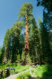 A large sequoia tree Royalty Free Stock Photo