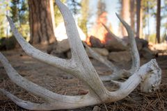 Deer Antlers sitting near the Fire stock images