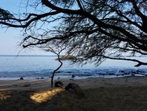 Large Shade Tree and Driftwood on the Beach. Big Island, Waimea, Puako, Hawaii Royalty Free Stock Images