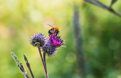 A large shaggy bright yellow and brown bumble bee with pollen on his fur pollinates purple burdock flowers in the garden in summer. On a blurred green royalty free stock photo