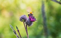 A large shaggy bright yellow and brown bumble bee with pollen on his fur pollinates purple burdock flowers in the garden in summer. On a blurred green royalty free stock photography