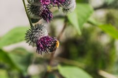 A large shaggy bright yellow and brown bumble bee with pollen on his fur pollinates purple burdock flowers in the garden in summer. On a blurred green stock photo