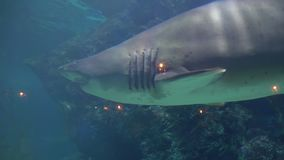 A large shark swims among the coral at the bottom. angry aggressive animal in aquarium of Oceanarium stock video