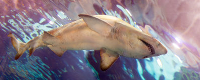 Large shark swims in   water Stock Photography