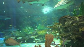 Large sharks by a coral reef stock video