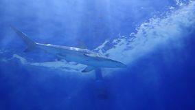 Large sharks swimming around the reef. Scuba diving masks. Tropical island. The sunlight through the water. Large sharks swimming around the reef. Scuba diving stock video footage