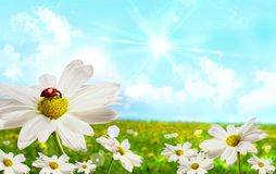 Large shasta daisies in field Royalty Free Stock Photo