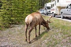 A large, shedding elk delaying traffic Royalty Free Stock Photo