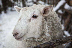 Large sheep in the snow in the winter in a shelter in a rustic farm. Stock Photos