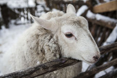 Large sheep in the snow in the winter in a shelter in a rustic farm. Stock Photography