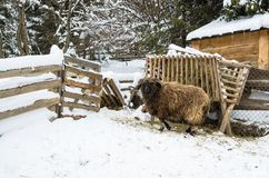 Large sheep with thick hair and curved horns on the barnyard. Near feeders in the village, farm, Ukraine royalty free stock photo