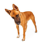 Large Shepherd Crossbreed Dog Looking Down Royalty Free Stock Photography