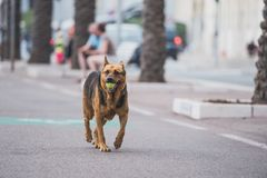Shepherd dog carries tennis ball. Large shepherd dog walking along the boulevard and carrying tennis ball in its mouth Stock Photo
