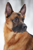 Large Shepherd sits and stares into the distance Royalty Free Stock Image
