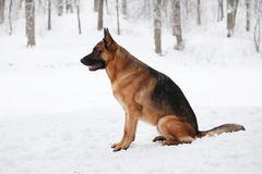 Large Shepherd sitting in the snow winter day Royalty Free Stock Photos
