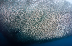 Large shoal of Sardines Stock Photography