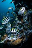 Large shoal of Tropical Fish Royalty Free Stock Photo
