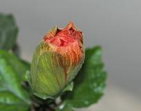 Large Showy Orange Hibiscus Bud Stock Images