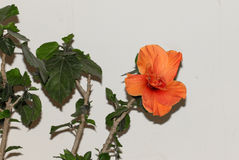 Large Showy Orange Hibiscus Flower Royalty Free Stock Images