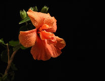 Large Showy Orange Hibiscus Flower Stock Photos